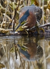 Green Heron & Fish by Cathy Cooper