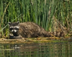 Raccoon at Ahjumawi State Park. Taken from his kayak by Jim Duckworth