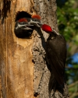 Pileated Woodpecker and chicks at Clear Lake State Park. Photo by Lyle Madeson