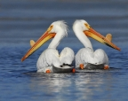 American White Pelicans at Ahjumawi Lava Springs State Park. Photo by Jim Duckworth