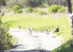Wild Turkeys.: 640x457