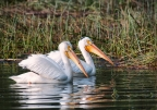 American White Pelicans at Anderson Marsh Natural Preserve. Photo by Harvey Abernathey