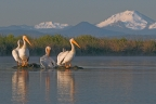 American White Pelicans at Ahjumawi Lava Springs State Park. Photo by Jim Duckworth: 1024x682.66666666667