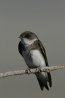 Bank Swallow by Steve Emmons.jpg: 1024x1536