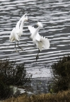 Egrets at Bolinas Lagoon. Photo by Harvey Abernathey