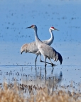 Sandhill Cranes at Llano Seco Unit of Sacramento National Wildlife Refuge. Photo by Bruce Johnson