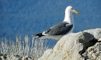 California Gull: 800x472