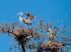 Heron rookery at Clear Lake State Park. Photo by Harvey Abernathey