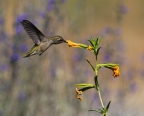 Annas Hummingbird at Cosumnes River Preserve. Photo by Bruce Miller: 1024x819.12735012416