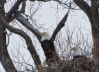 Bald Eagle Nest at Lower Klamath Basin NWR. Photo by Doug Froning