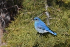 Mountain Bluebird at Eagle Lake. Photo by Tom Pritchard. : 1024x682.66666666667
