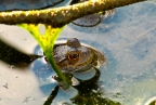 Submerged frog, Eastman Lake. Photo by Pat Althizer: 1024x682.75416559856