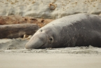 Elephant Seal at Point Reyes National Seashore. Photo by Jessica Weinberg