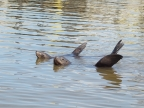 California Sea-Lions at Elkhorn Slough. Photo by Linda Muth: 1024x768