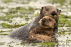 Sea Otters at Elkhorn Slough. Photo by Cindy Tucey: 800x533