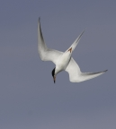 Forster's Tern at Palo Alto Baylands. Photo by Phil Robertson