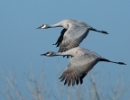 Sandhill Cranes at Merced National Wildlife Refuge. Photo by Gary Powell