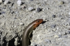 Gilbert's Skink. Photo by Phil Robertson