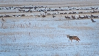 Coyote with Geese, Lower Klamath Basin NWR. Photo by Harvey Abernathey: 1024x579