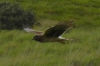 Northern Harrier hunting at Coyote Hills Regional Park. Photo by Janet Norris