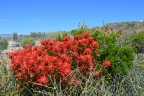 Indian Paintbrush: 1024x682.66666666667