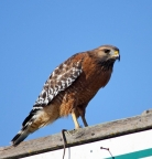 Red-shouldered Hawk at K-Dock. PHoto by Terry Eckhart: 1009x1059