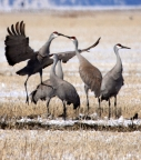 Sandhill Cranes at Lower Klamath Basin NWR. Photo by Larry Turner: 1024x1168.1697203472
