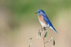 Western Bluebird. Photo by Irwin Maloff