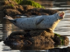 Harbor Seal, Monterey Bay. Photo by Gary E. Davis