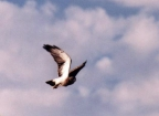 USDA Forest Service Osprey at Ft. Collins