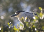 Black-crowned Night Heron at Palo Alto Baylands Preserve. Photo by Suzanne Young