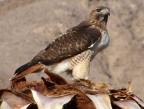 Watch for red-tailed hawks on the look out for prey in Death Valley National Park.Photo by Gerry Wolfe