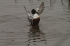 Northern Shoveler at Sacramento NWR. Photo by Claire Ames