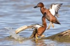 Cinnamon Teal Drakes at Sacramento NWR. Photo by Phil Robertson