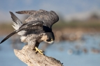 Peregrine Falcon at Sacramento NWR. Photo by Phil Robertson