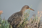 Clapper Rail at Don Edwards San Francisco Bay NWR. Photo by Ann Saetnan