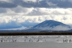 Tundra Swans at Lower Klamath NWR: 1024x685.48760330579