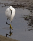 Egret at Tijuana Slough. Photo by Gary E.Davis