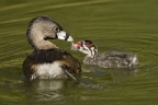 Pied-Billed Grebe and chick. Photo by Cindy Tucey