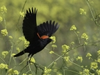 Red-winged Blackbird at Yolo Bypass Wildlife Area. Photo by Phil Robertson: 1024x768.22755555556