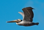 Brown Pelican at Abbots Lagoon, Point Reyes National Seashore. Photo by Harvey Abernathey