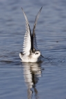 Red-necked Phalarope at Elkhorn Slough Reserve. Photo by Nicole LaRoche: 1024x1536.1989895064